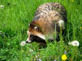 Cute Raccoon Dog - Yctereutes Procyonoides by TheFunnySpider