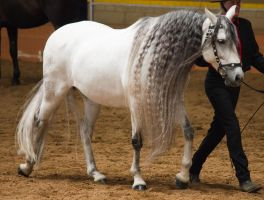 STOCK - 2014 Andalusian Nationals-162 by fillyrox