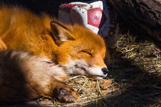 Little Vixen Sweet Nap Portrait by OrangeRoom