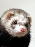 ferret portrait by xrayfish