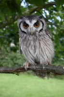 Scops Owl by cycoze
