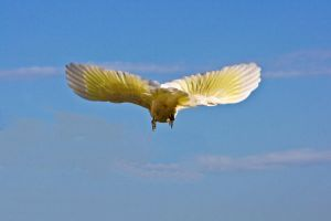 Sulphur Crested Cockatoo 178 by chezem