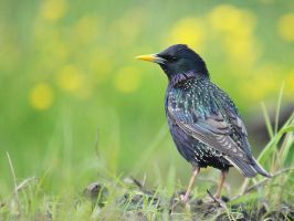 European Starling 2 by cycu55