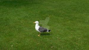 Seagull on grass by love---less