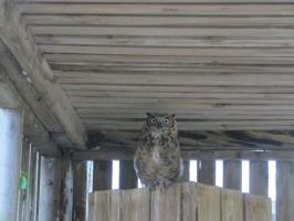 Great Horned Owl by Windthin