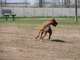 Boxer Playing at the Dog Park by FantasyStock
