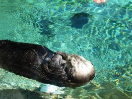 Sea Otter 10 -- Sept 2009 by pricecw-stock