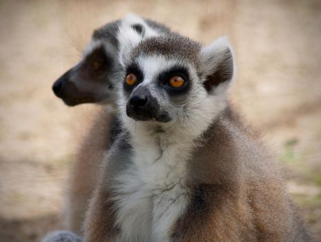 Ring-Tailed Lemur 4. by purevintage