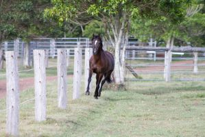DN Black pony trot front view by Chunga-Stock