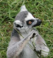 Ring-Tailed Lemur_03 by Tebyx
