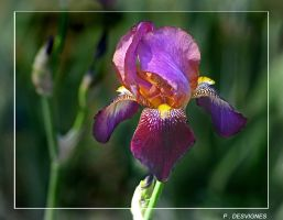 PURPLE IRIS by bracketting94