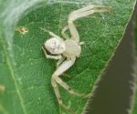 small Crab spider., by duggiehoo