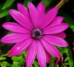 *Pink Star* by Delice1941