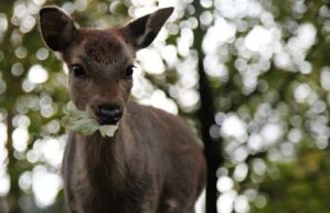 Sika Deer by hepiladron