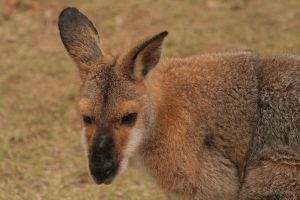 Wallaby close up II by TIGER-angel