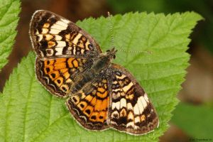 Early morning Checkerspot by natureguy