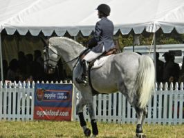 Dapple Grey Show Horse Stock IV by Ghost-Rebel-Stock