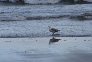 The Beach Reflection, Seagull 3 by Miss-Tbones
