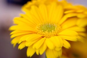 Yellow Daisies I by LDFranklin
