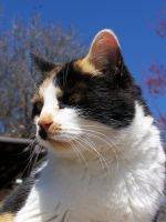 Calico Cat Closeup4 by effing-stock