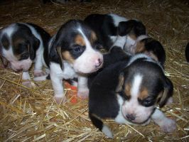Puppies 3 weeks by shortish