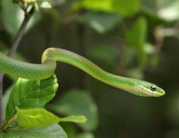 Rough Green Snake 20D0027586 by Cristian-M