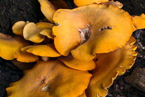 Wild Chanterelle by rwwiley