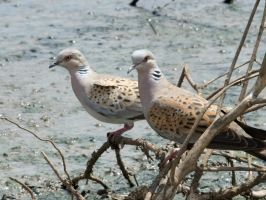 turtledoves by syadalymam