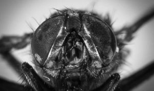 Fly portrait, close up by danjufo-photography