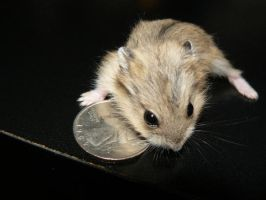 Grey Baby Hamster 1 by ShadedRain