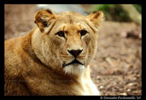 Lioness Portrait IV by TVD-Photography