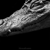 Caiman Crocodilus by NicolasEvariste