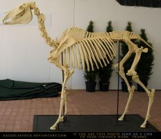 Horse Skeleton 3 by SalsolaStock