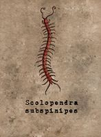 Scolopendra subspinipes anatomy poster by ViggObscure