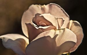 White Rose by Agatha-Tyche