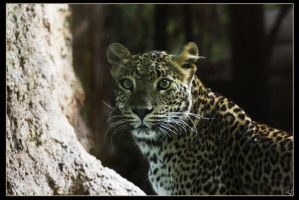 Leopard 11 by Globaludodesign