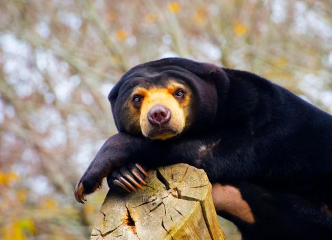 Pine of the Sun Bear by frenchemily