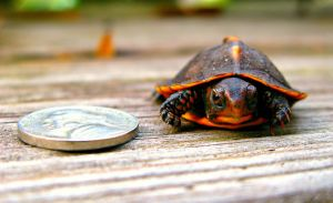 Baby Turtle w/ a Nickel by JNS0316