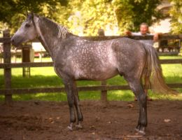 Dapple grey stallion II. by LadyAyslinn