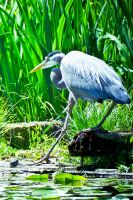 Blue Heron by jonaslee