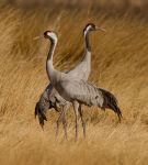 Two common cranes by Jamie-MacArthur