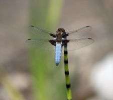 DRAGONFLY 1 (Libellula depressa) by BlonderMoment