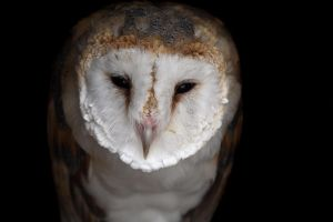 Barn Owl Face by cycoze