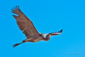 Great Blue Heron by xtharnx