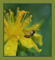 Hoverfly On Yellow by barcon53