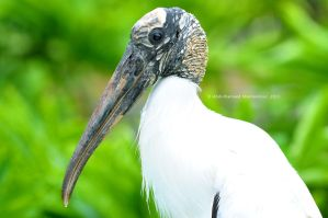 Wood Stork by ashamandour
