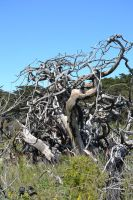 Gnarled Dead Trees Stock2 by jojo22