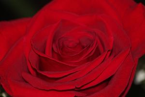 roses are red by Laur720