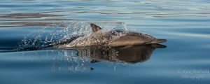 Common Dolphin Reflection 2 by orcamistress101