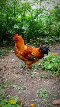 Rooster by crudert